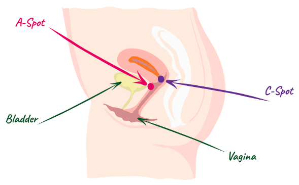 Diagram of female reprodyctive system highglighting the A-spot, the C-spot, the vagina and the bladder.