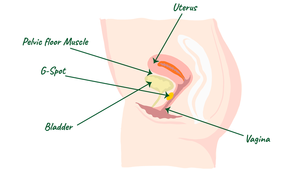 A simple diagram of the female reproductive system, highglighting the G-spot, bladder, vagina, uterus and pelvic floormuscle