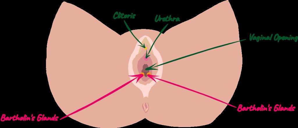 Female Ejaculation: Vulva in pink hues. Arrows points to Bartholins Glands, Clitoris, Urethra, Vaginal Opening